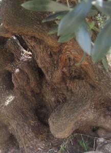 Alter Olivenbaum auf Sardinien