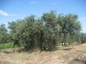Olivenbaum-Sardinien-2