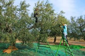 Oliven-Ernte per Hand